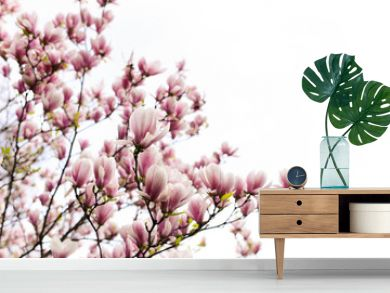 blossoming of magnolia flowers in spring time on white background