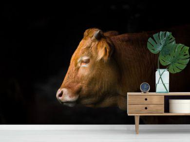 Cow portrait black background