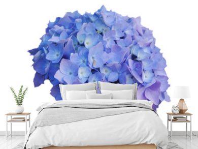 Flowers of blue hydrangeas, on white isolated background