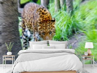 Leopard, Jaguar, Panter (panthera onca) Zoom In