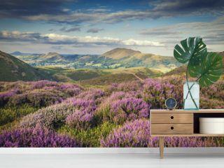 Upland Heathland Landscape at Summer Bloom