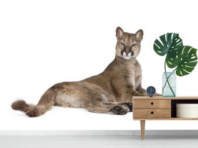 Portrait of Puma cub, Puma concolor, 1 year old, lying against white background, studio shot