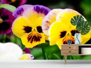 Two yellow pansies in the garden