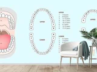 Set of human tooth & jaw anatomy, location of teeth in humans - adult & children, template & concept for dental clinic., vector illustration set, Ai / EPS 10