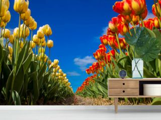 Spring blooming tulip field. Spring floral background.