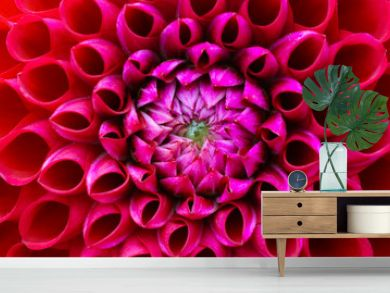 Red and pink dahlia flower macro photo. Picture in colour emphasizing the light pink and dark red colours. Flower head at the centre of the frame with perspective from the top.