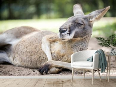 Red kangaroo sitting in the sun.