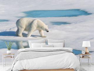 Polar bear with reflection