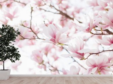 Closeup of magnolia blossoms with blurred background and warm sunshine