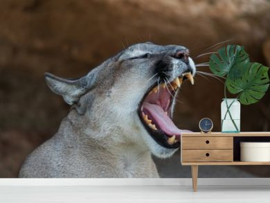 Close up view of a puma yawning