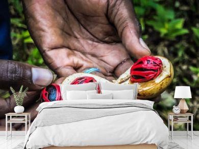 afrmers hand presenting a fresh nutmeg fruit in zanzibar