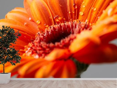 Gerbera flower with drops of water