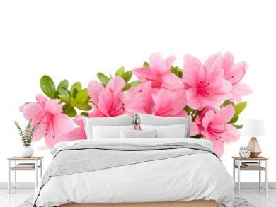 azaleas flowers  isolated