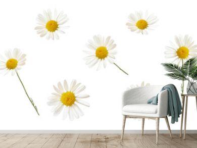 Set of white daisy flowers