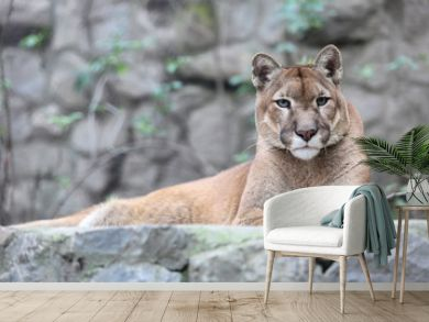 Mountain lion laying on rocky pedestal in zoo