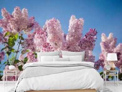 Closeup of blossomed lilac flower bushes against blue sky. Spring