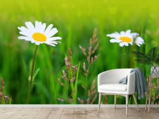White daisies background.