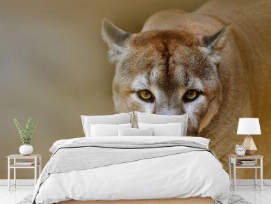 Cougar looking at camera