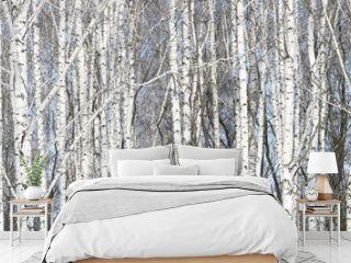 Beautiful white birches in birch grove