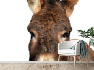 Portrait of a donkey isolated on white background.