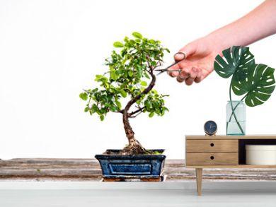 sagaretie bonsai in blue bowl on wooden board with gardeners hand