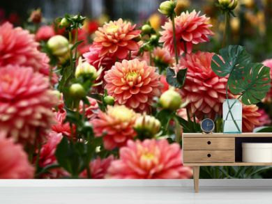 Dahlias in pink tones./In a flower bed a considerable quantity of flowers dahlias with petals in various tones of pink color.