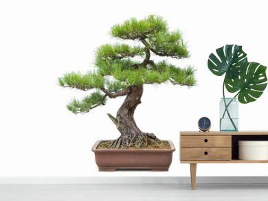 green pine bonsai isolated