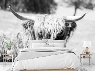 Scottish Highlands cow in black & white