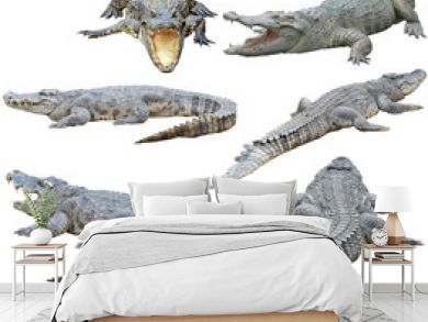 siamese crocodile isolated on white background