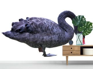 black swan standing on one leg