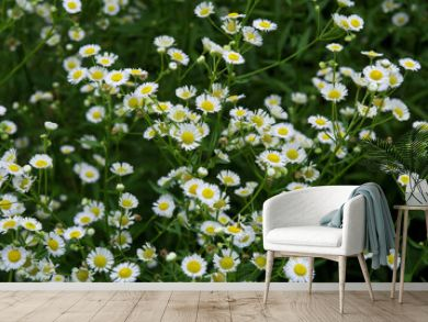 Daisy flower fields, Daisy flowers in the garden (Soft Focus)