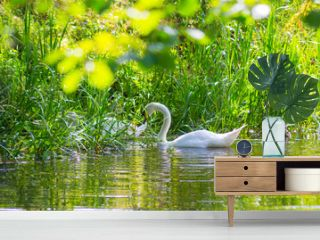 White swan on the canal with green leaves and beautiful reflection in water.