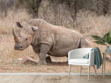 rhino bull scrtching himself at a rock