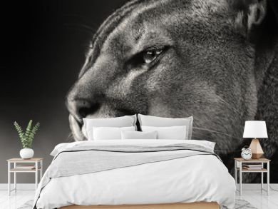 Black white face American puma, cougar