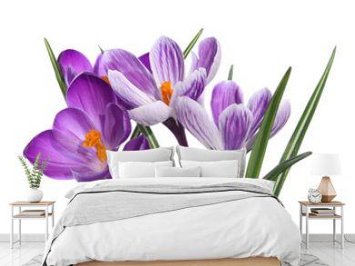 Crocus violets