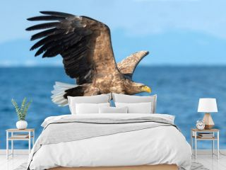Adult White-tailed eagles fishing. Blue Ocean  background. Scientific name: Haliaeetus albicilla, also known as the ern, erne, gray eagle, Eurasian sea eagle and white-tailed sea-eagle.