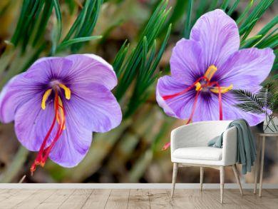 Saffron crocus sativus purple flowers