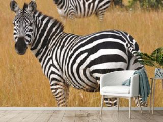 zebra in serengeti national park tanzania africa