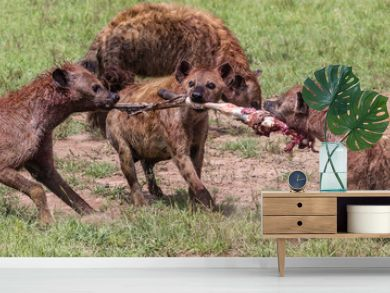hyenas fighting over zebra leg