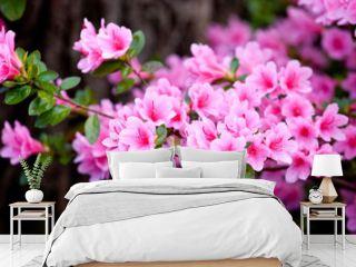 Bright pink  rhododendron flowers (azalea flowers)