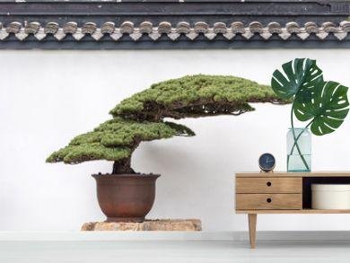 ancient pine bonsai