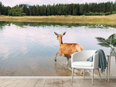 European Roe Deer Walking On Water