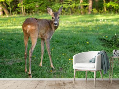 Roe deer, Capreolus capreolus. Wild roe deer in nature.