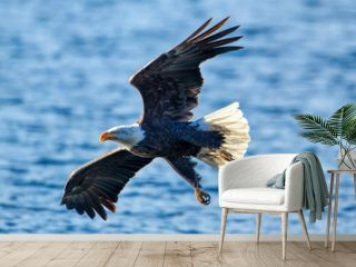 Bald eagle flies close to the water.