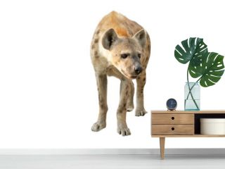 spotted hyena isolated