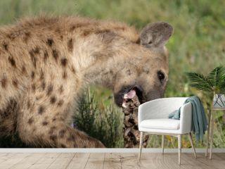 hyena chewing on a bone