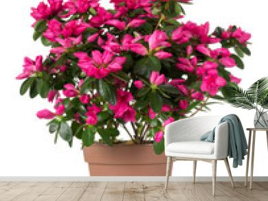Azalea flower is in the pot. Bright beautiful pink flowers isolated on white