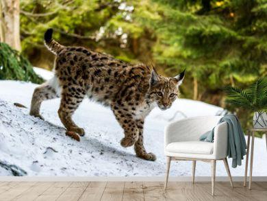 Eurasian lynx (Lynx lynx) in winter nature, Slovakia