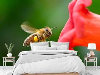 flying honey bee near red flower liana Campsis