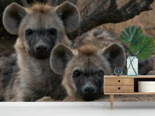 Spotted Hyena cubs faces look at camera